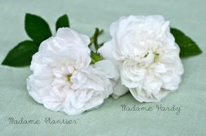 """История создания и особенности сорта роз """"Мадам Плантье"""""""