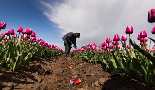Как ухаживать за тюльпанами: 5 простых шагов к успеху